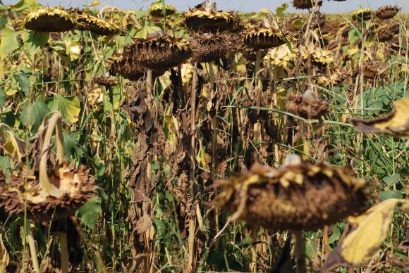 Реколтите от слънчоглед в Украйна и Русия са компрометирани от силната суша