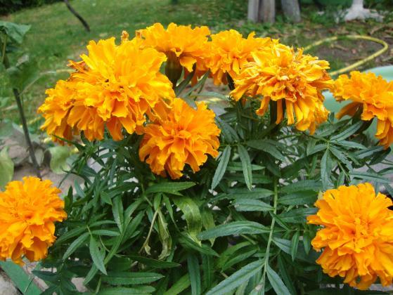 Тагетес или турта – цвете, билка и биопестицид