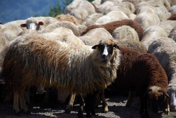 Чумата по дребните преживни животни още не се отразява в цената на агнетата