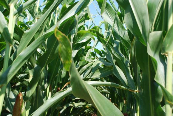 САРА: През август пшеницата от полето ще се купува средно по 285 лв. на тон, при 277 лв. през миналата година