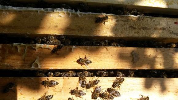 Има много пило, август ще е медоносен, надява се пловдивският пчелар Николай Гайдов