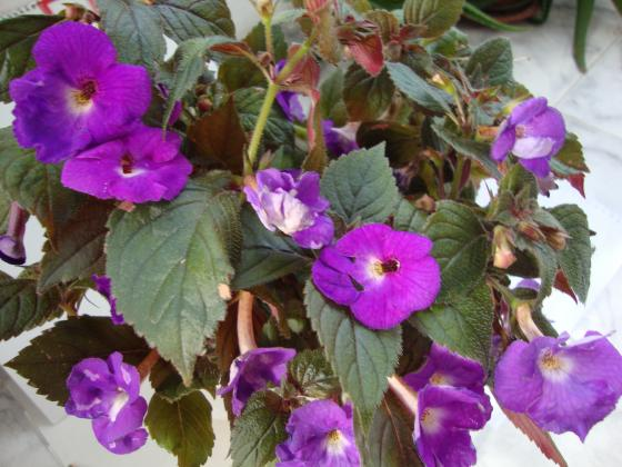 Ахименесът -  вълшебно или магическо цвете