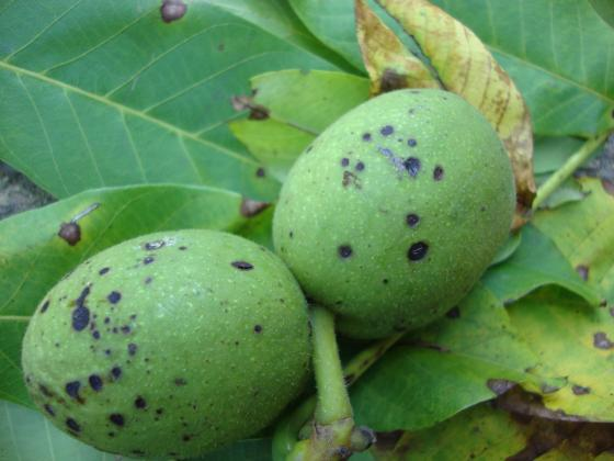 Дъждовното и влажно време провокира антракнозата по орехите