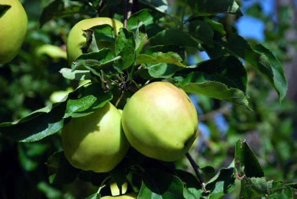 С какво да пръскаме ябълките и крушите през август