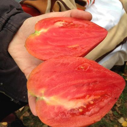 Няколко причини за образуване на бели жилки в доматите