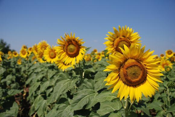 Рекордна реколта  от слънчогледово семе в Турция