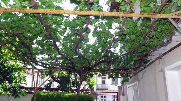 Как да защитим гроздето от осите?