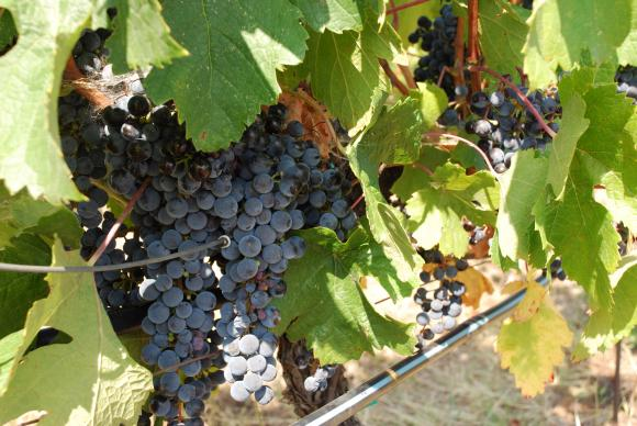 Сивото гниене може да унищожи добивите от грозде