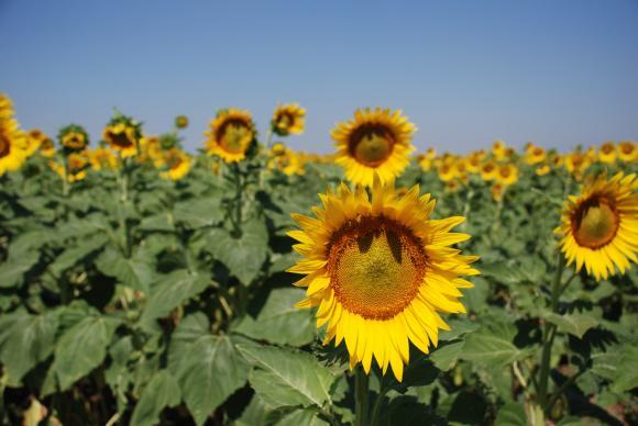 Прогнозите за добива от слънчоглед в Русия, Украйна и ЕС се подобриха след падналите дъждове