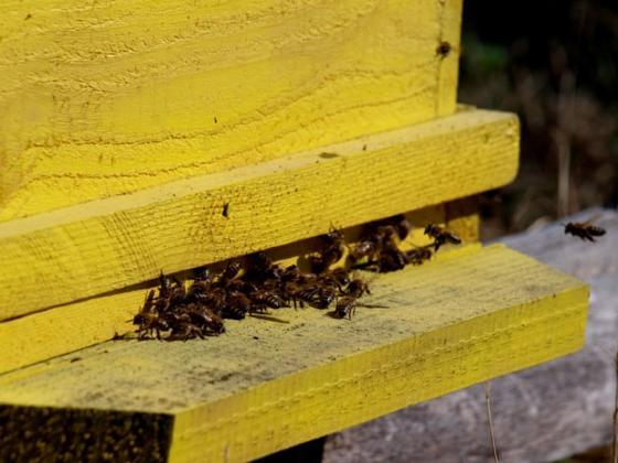 Защо дивите пчели са по-важни за добрите добиви