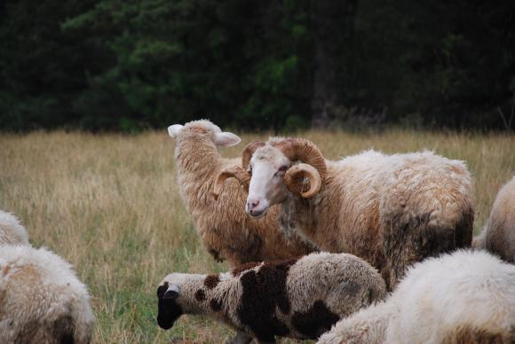 Доказано е, че в Благоевградско няма чума по овцете