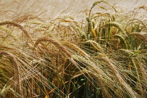 Мариела Йорданова: Махалото леко се връща към българската селекция пшеница
