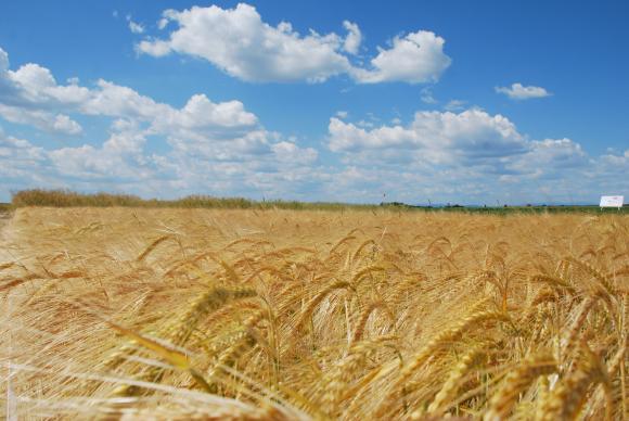 Слуховете за ограничения в износа на руска пшеница разбуниха зърнените пазари
