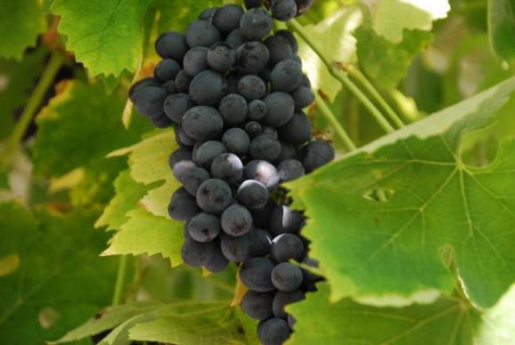 Оползотворяване на гроздовата реколта