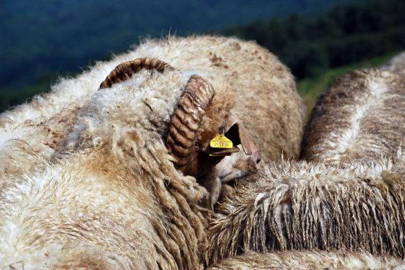 Евродепутат с питане към Еврокомисията за ушните марки на овцете и козите