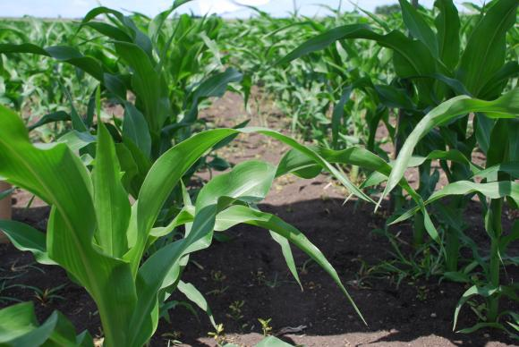 Перспективите за производството на царевица в ЕС се влошават за сметка на САЩ и Украйна