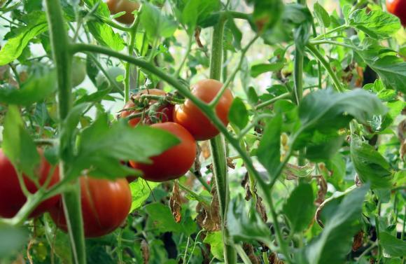 От август нататък доматите се нуждаят само от азот