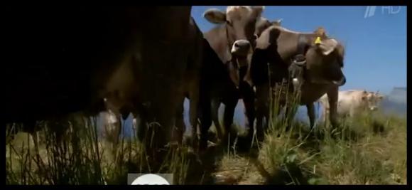 Пожарникари спасяват от жажда кравите в швейцарските Алпи