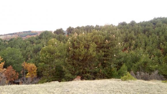 Третират 1250 декара борови гори  край село Геген срещу боровата процесионка