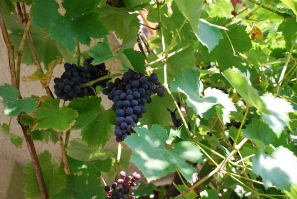 Жега с аромат на грозде