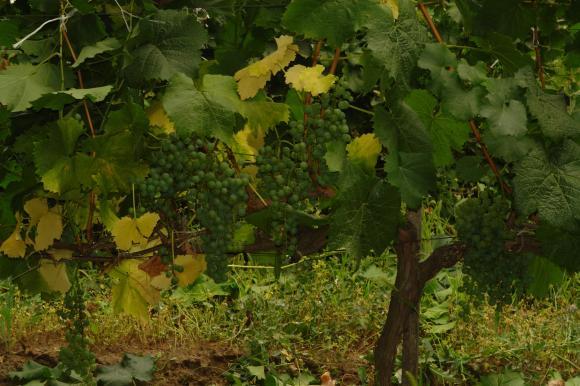 Нови винени сортове лози за 2018 година