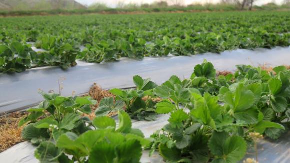 Време е за засаждане на ягодите