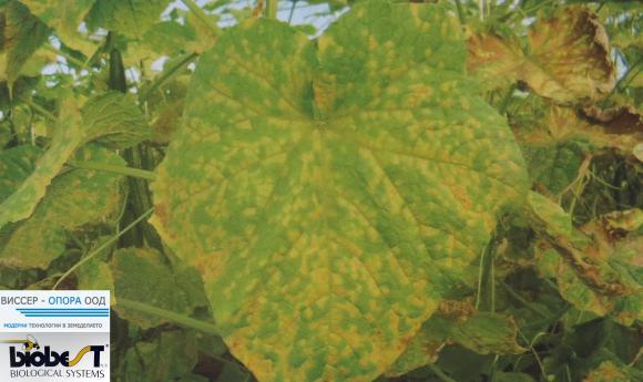 Растителна защита за краставички и тиквички през септември