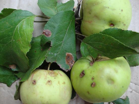 Есенна профилактика и защита на ябълката от струпясване