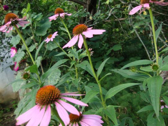 Ехинацея –аптечката на североамериканските индианци