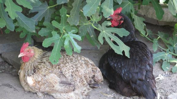 Цени на охладено и замразено пиле по области