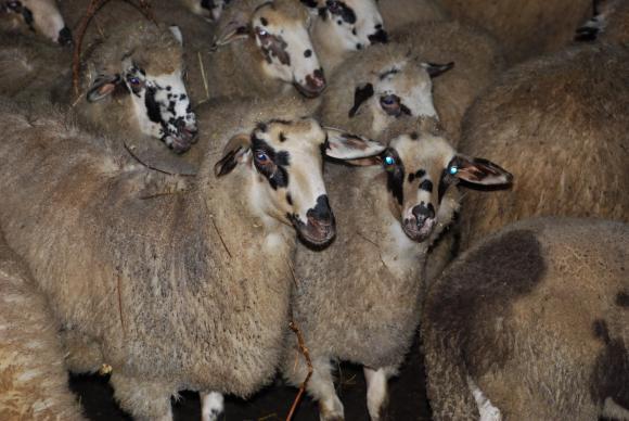 Заради умрели овце в Болярово спешно се свиква областната епизоотична комисия в Ямбол