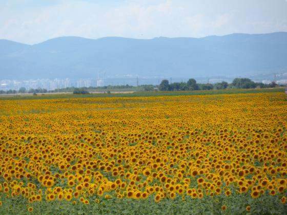 Цената на слънчогледовото масло в Европа пада. Очертава се рекорден износ на масло от Украйна