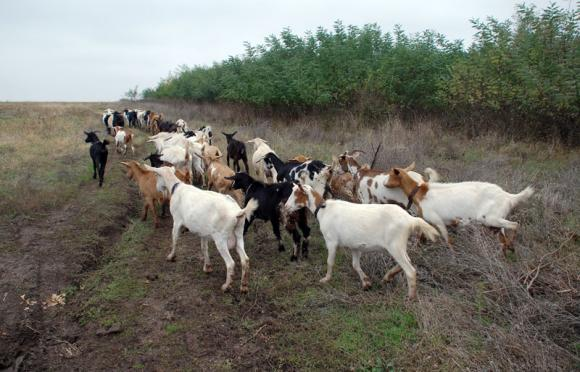 Откриха бруцелоза по дребните преживни животни в Кюстендилско