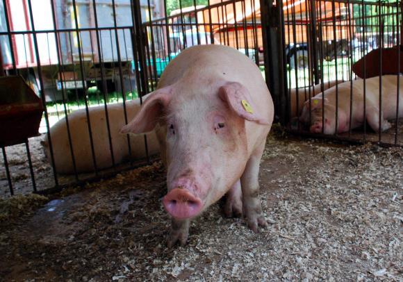 Свинепроизводството в Германия: временно затруднено или с дългосрочна негативна тенденция