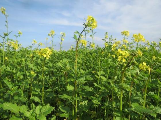Над 35 хил. декара с рапица са засели фермерите в Силистренско