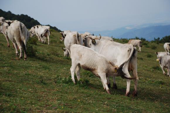 От 38-те групи на производителите с шанс да получат финансиране, 22 са в животновъдния сектор