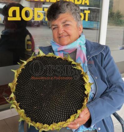 Огромен слънчоглед отгледа смолянчанката Румяна Самичкова