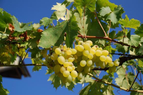 Актуални безсеменни сортове грозде