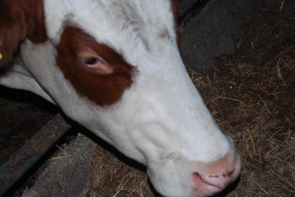 ЕОБХ: Мерки срещу нодуларния дерматит при животните