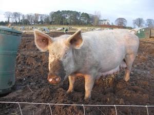 Ирландски фермер влиза в затвора заради жестоко отношение към свинете си