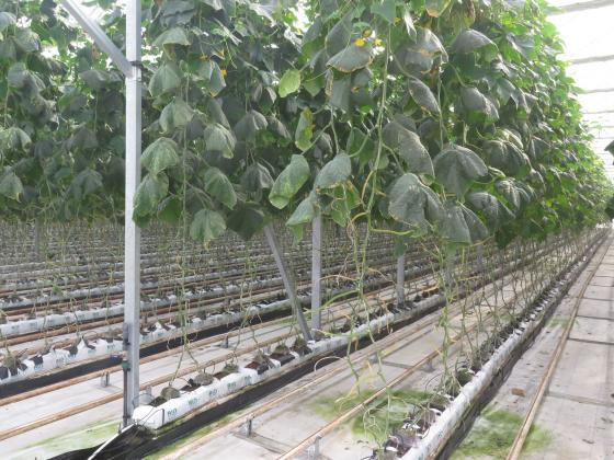 С какво да пръскаме краставиците и тиквичките в оранжериите през ноември