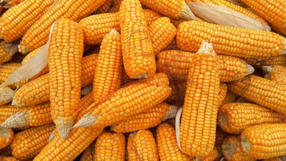 Слабото търсене и изобилието от царевица в света натискат цената й
