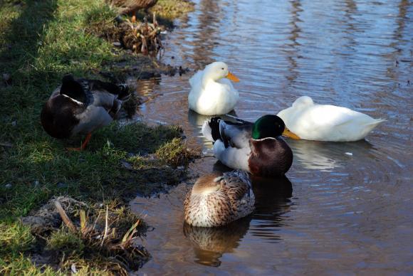 Фермери излизат на мълчалив протест срещу мерките за птичия грип