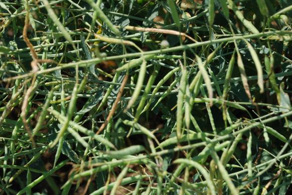 С очакване за по-благоприятна 2019 г. за износителите на рапично семе, масло и шрот