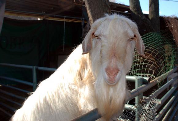 ДФЗ предостави помощ de minimis на двама фермери със загинали от мълния кози