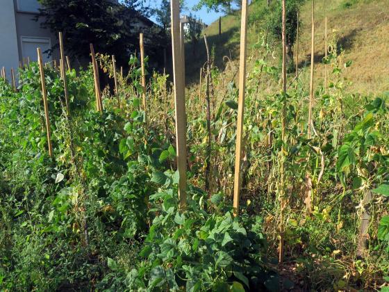 Бобовите култури наторяват градината