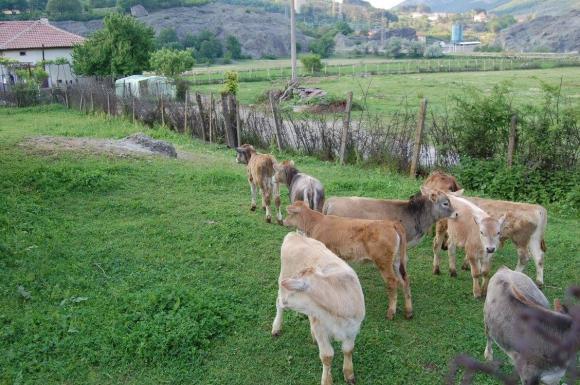 Обявени са ставките по обвързаната подкрепа за селектирани животни, до дни пускат плащанията