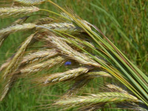 Първа прогноза за добивите от зърно в ЕС през 2019 г.