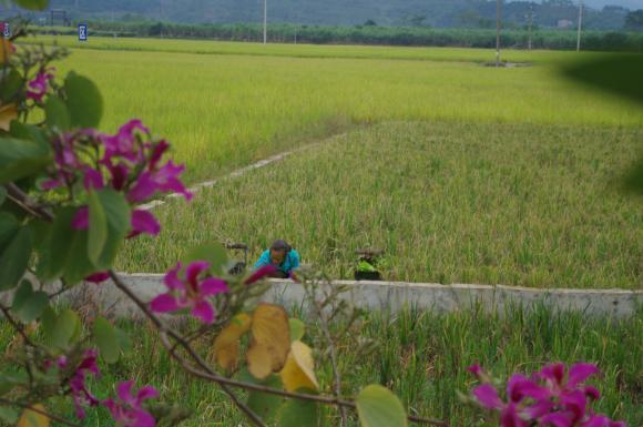 Китайски фирми ще инвестират в отглеждането на хибриден ориз и просо в България