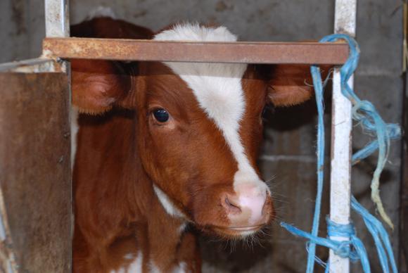Близо 100 животновъди остават без субсидии заради проблеми с кръстосаните проверки
